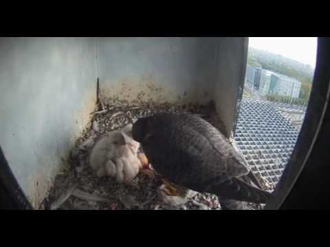 Peregrines Nest 2: Chick's Feet - 24.04.17