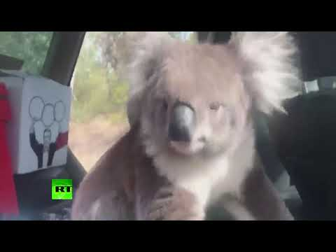Koala found its way into the car to cool off and chill