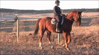 How To Teach A Horse Piaffe Part 6: Developing Half-Steps Part II