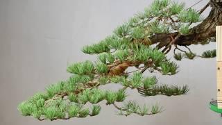 Cascade Style Bonsai Timelapse