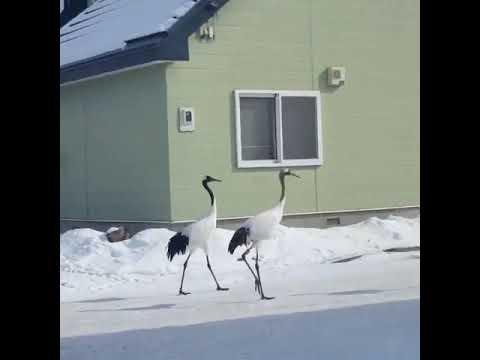 Журавли прогуливаются по японскому посёлку