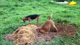 Опоссум против собак  Klondike TV