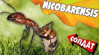 Родился муравей Camponotus Nicobarensis. Развитие начальной колонии.