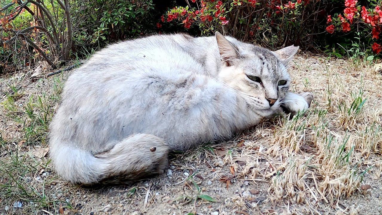 自分の後ろ脚にアゴをのせてくつろぐサバトラ猫