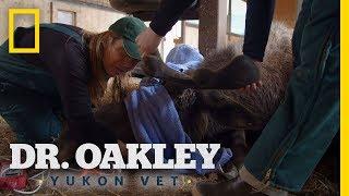 Checking a Moose's Teeth | Dr. Oakley, Yukon Vet