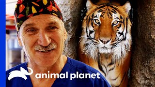 Dr. Jeff Neuters a Tiger! | Dr. Jeff Rocky Mountain Vet by Animal Planet