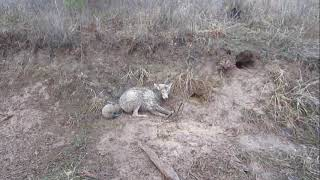 Trapping 2017 - Double Coyote