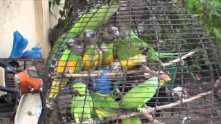 Wild Caught Senegal Parrot Market in Bomako Mali