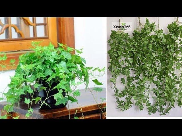 Ý nghĩa phong thủy cây Thường Xuân và cách trồng cây Thường Xuân xanh mát quanh năm quá đơn giản