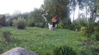 Biały owczarek szwajcarski sztuczki, posłuszeństwo i frisbee :)
