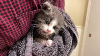 How to Safely Bathe A 5 Week Old Kitten (How To Give A Kitten A Bath)