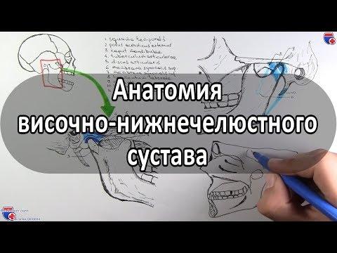 Анатомия височно-нижнечелюстного сустава - meduniver.com