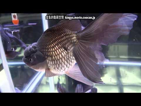 [青文魚]第28回日本観賞魚フェア 親魚の部 優勝:Pro Shop血統魚持魚