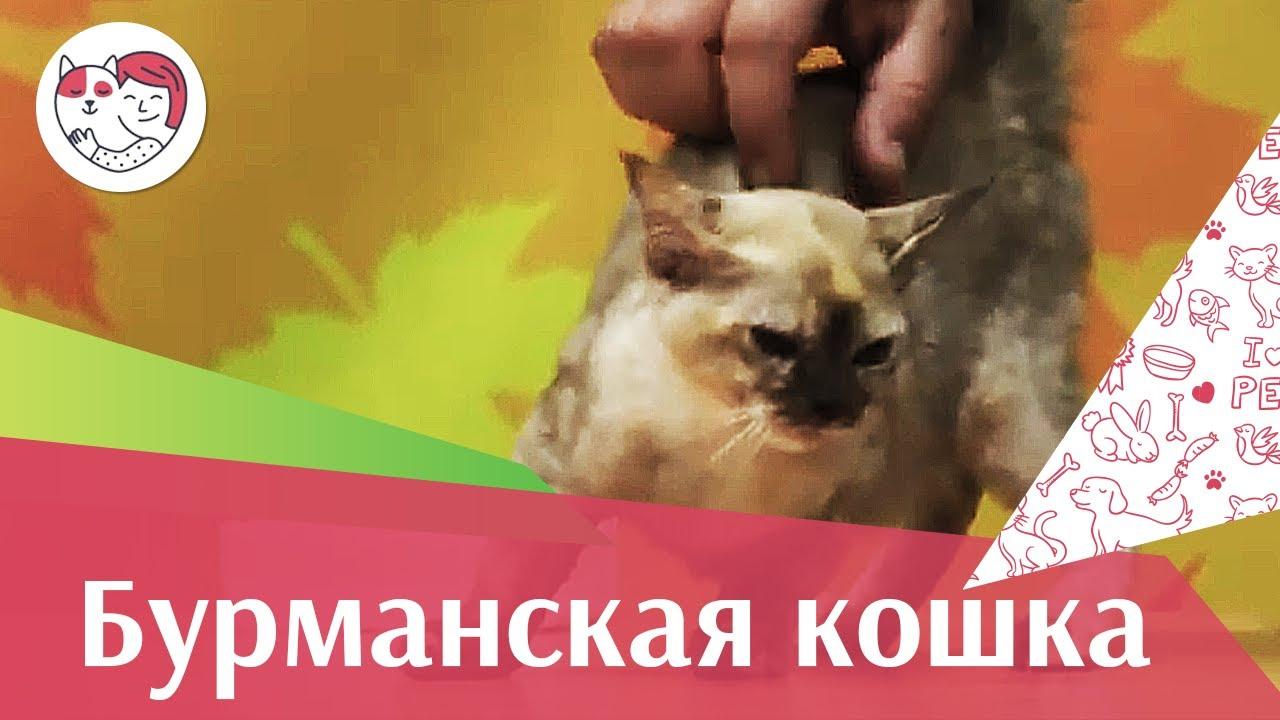 Бурманская кошка Бурма Внешний вид на ilikepet