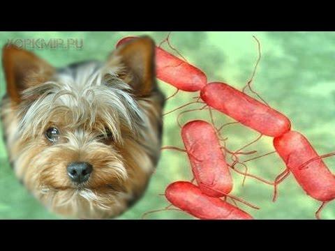 Сальмонеллез у собак   Симптомы   Лечение.