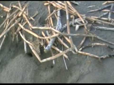 schildpadje gered in Tortuguero N.P.