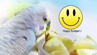 5 Essential tips for Keeping a Budgie Happy