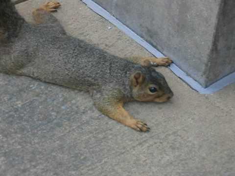 Wiewiórka udająca martwą