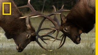 The Yearly Elk Brawl | Untamed Americas
