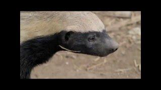 Honey Badger Houdini - Honey Badgers: Masters of Mayhem - Natural World