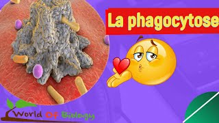 Vidéo : la phagocytose (unité 16)