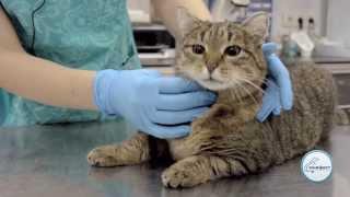 Смотреть онлайн Совет ветеринара: как дать таблетку коту