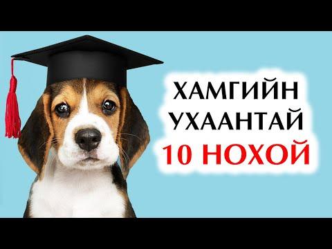 Дэлхийн хамгийн ухаалаг 10 нохойн үүлдэр🐶🐕🐩