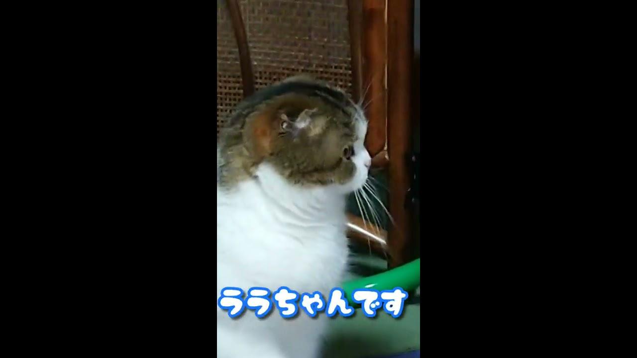 ララの日課その1~遊び編~【スコティッシュフォールド】