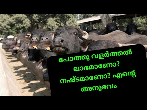 Murah Buffalo farming in kerala|agri tech farming|പോത്ത് വളർത്തൽ നഷ്ടമാണ് ആണോ