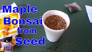 How to Grow  Maple Bonsai From Seeds /Japanese Maple / for beginner - 6th june 2017/Mammal Bonsai