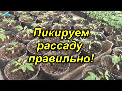 Как правильно пикировать томаты - все тонкости и нюансы! Когда и как нужно пикировать рассаду.