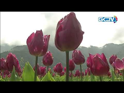 Covid-19: Nobody to watch million tulips bloom at Asia's largest tulip garden in Kashmir