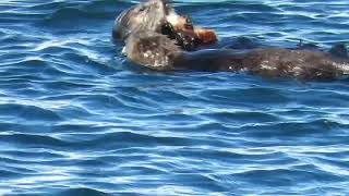 Sea Otters Monterey Bay