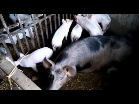 Поросята с мамами свинками.