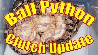 Ball Python - Clutch Update - Coral Glow Het Pied X Poss Het Pied