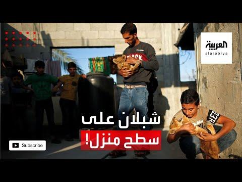 العرب اليوم - شبلان يعيشان على سطح منزل وبين البشر!