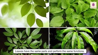 All About Plant Leaf | Types Of Leaves | Photosynthesis | Science For Kids | Grade 4 | Periwinkle