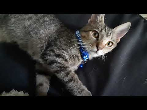 0210 Acorn **NEW VIDEO**, an adopted Domestic Short Hair in St Petersburg, FL