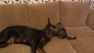 злой котенок и доберман