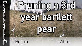 Pruning a 3rd Year Bartlett Pear