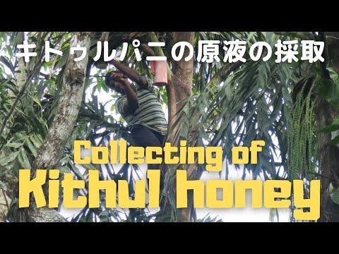 キトゥルパニの採取。Tapping treacle from Kithul tree