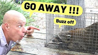 3 ways to get rid of raccoons fast