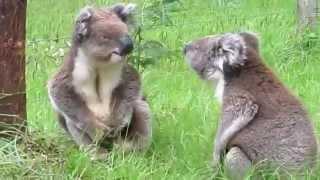 Комедии, фото и видео приколы, ...жестокая драка коал...
