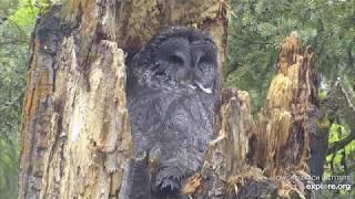 Great Gray Owls.  Большая серая сова!
