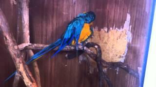 Ара сине желтый