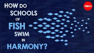 How Do Schools of Fish Swim in Harmony