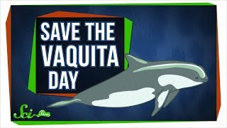 We Probably Can't Save the Vaquita—But We Can Learn From Them - Video Youtube