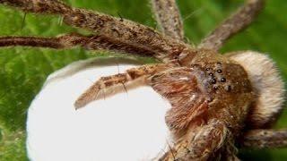 ОСТОРОЖНО ПАУКИ! Вся правда о пауках! Документальные фильмы, фильмы про насекомых
