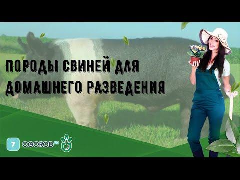 , title : 'Породы свиней для домашнего разведения