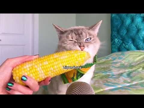 Cat eating corn on the cob